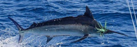 Black Marlin Fishing Charters