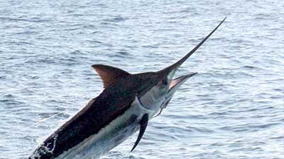 Picture of Black Marlin