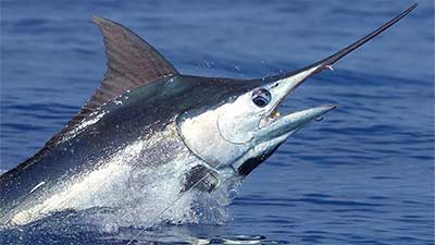Picture of Blue Marlin