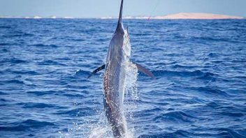 Marlin Fishing Charters